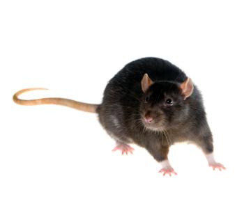 Уничтожение крыс. Дезстанция «Экомир»