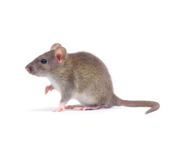 Уничтожением крыс занимается дезстанция «Экомир»