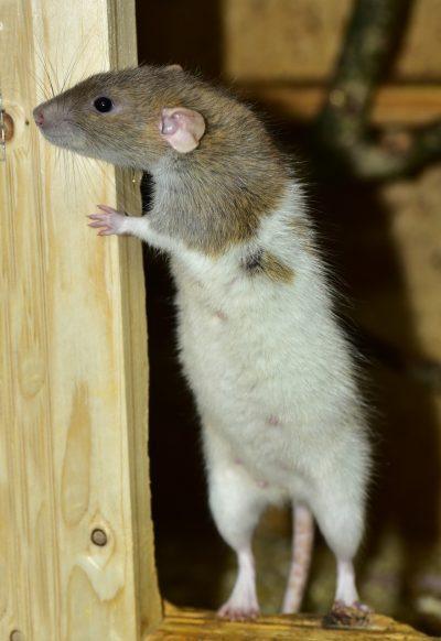 rat-1191749_1280